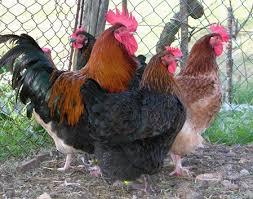 Marans galline